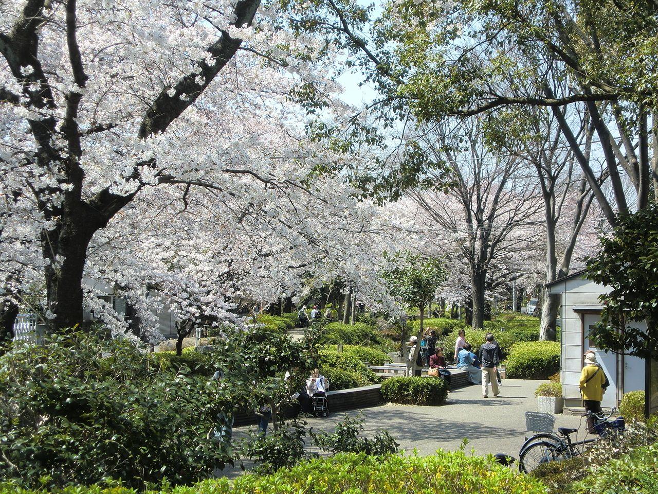 柴崎体育館周辺の、春には桜がキレイに咲く緑道