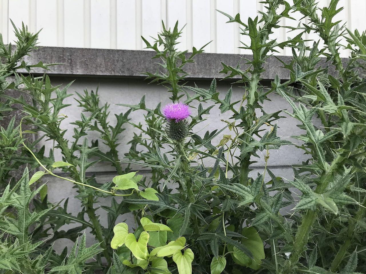 街中で見られるアメリカオニアザミの花